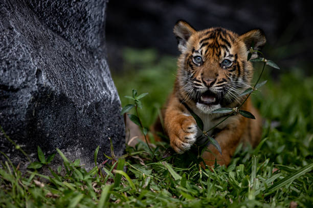 IDN: Indonesian Safari Park Welcomes Baby Tigers On International Tiger Day