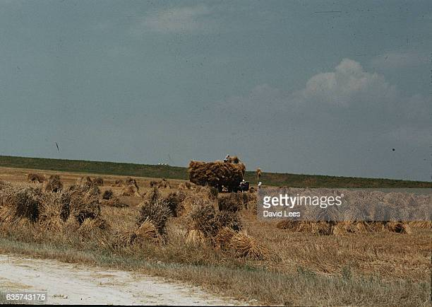 Italian agricultural labourers harvesting wheat beside the Po river in Italy