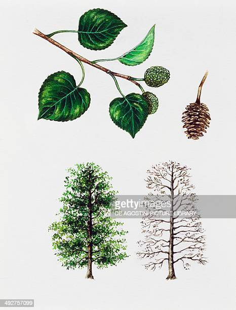 Italian Alder Betulaceae tree with and without foliage leaves flowers and fruit illustration