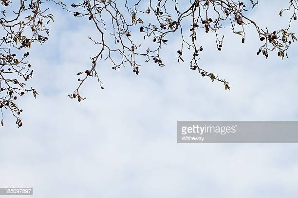 Italian alder tree Alnus cordata male and female catkins