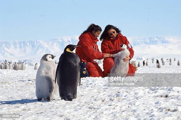 Italian biologists of the Siena University Simonetta Corsolini and Silvia Olmastroni are shown among Emperor penguins near the Italian Mario...