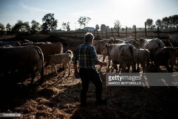 Italian cattle breeder Pier Domenico Dotta holds his smartphone that he uses to check the cattle stall register app in his farm in Villafalletto,...