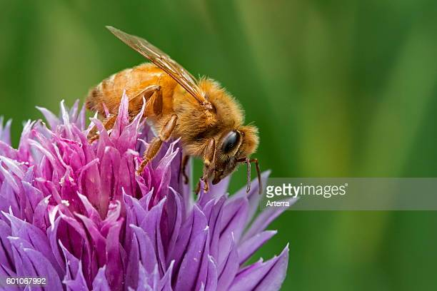 Italian Cordovan bee , subspecies of the western honey bees collecting nectar from flowering chives collecting nectar from flowering chives.