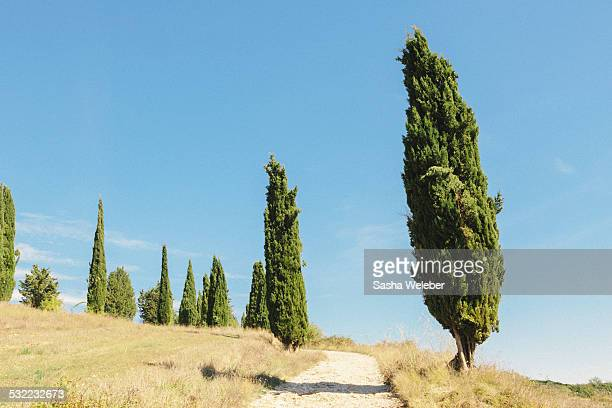 italian cypress trees against blue sky with road - italian cypress stock pictures, royalty-free photos & images