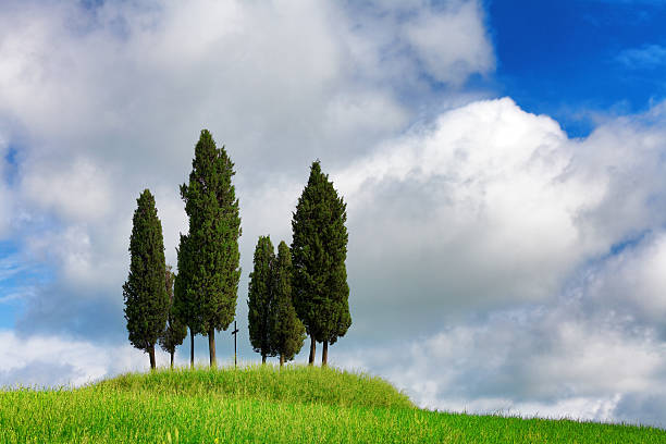 italian cypresses in the spring