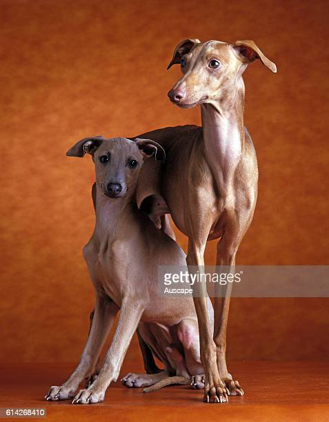 Italian greyhound a gazehound Generally weighs about 5 kg Appears fragile but is hardy and very fast