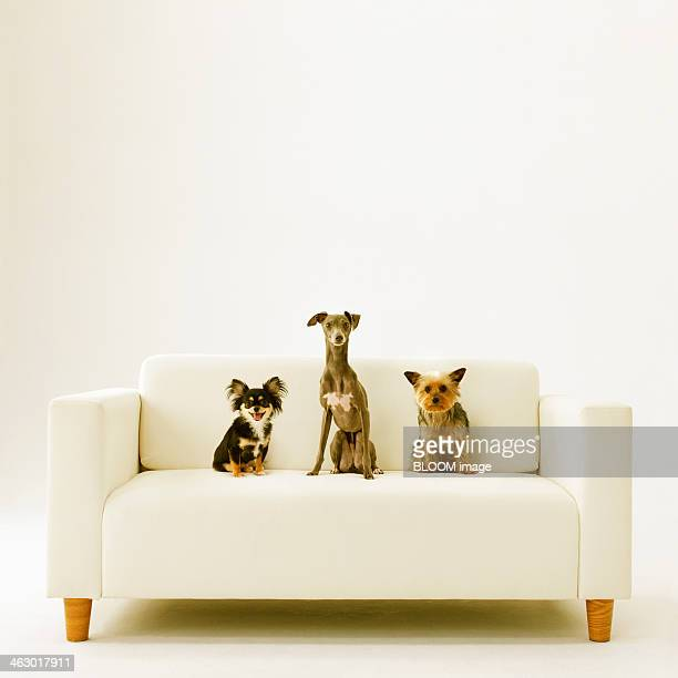 italian greyhound, long coat chihuahua and york shire terrier - levrette position photos et images de collection