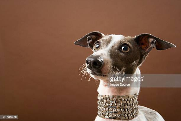 italian greyhound - collar stock pictures, royalty-free photos & images