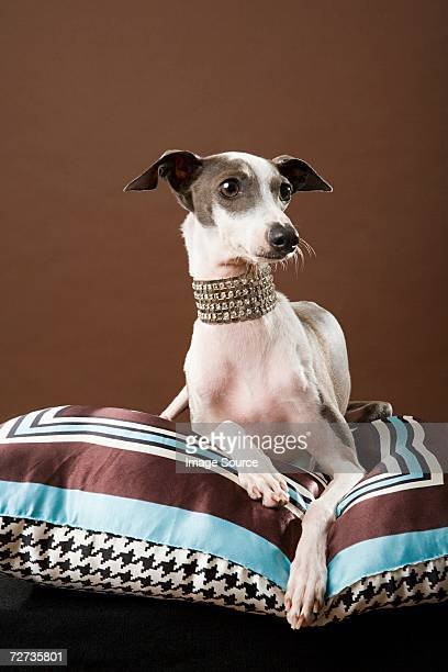 italian greyhound - pampered pets stock pictures, royalty-free photos & images