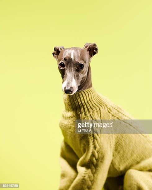italian greyhound - maglione foto e immagini stock