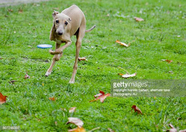 italian greyhound puppy running fast on green - levrette position photos et images de collection