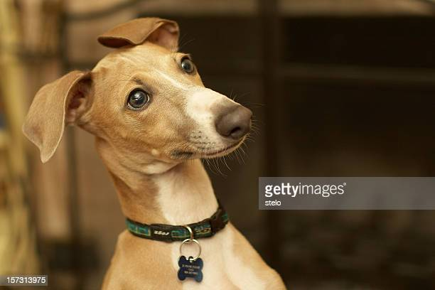 Italian Greyhound, staring at something in the background
