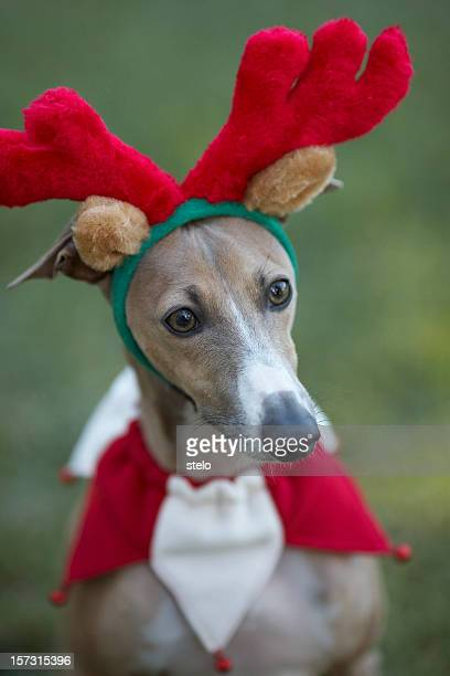 Italian greyhound with Antlers (reindeer)