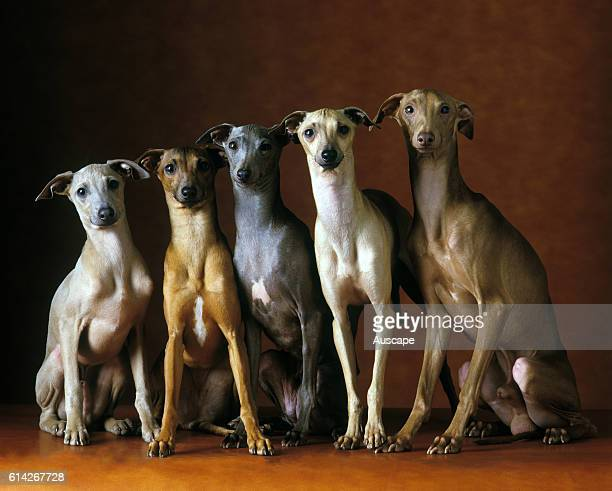 Italian greyhounds five animals sitting in row studio setting