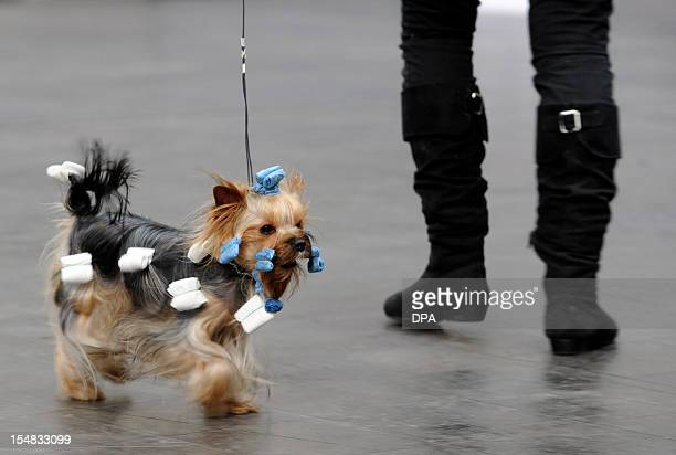 Italian Loana Pietta posing with her Yorkshire terrier Sweety Blue on October 27 2012 at the International Dog Show in Hannover The hair is wrapped...