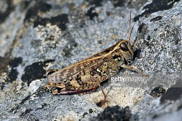 Italian locust on rock