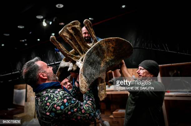 Italian scientific consultants assemble the bones of two Jurassic age dinosaurs a Diplodocus and an Allosaurus on April 6 before being auctioned on...