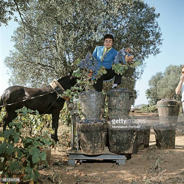 Italian singer Al Bano climbs barrels full of grapes ready for the treading posing deep in the Pugliese countryside while keeping in his hands some...