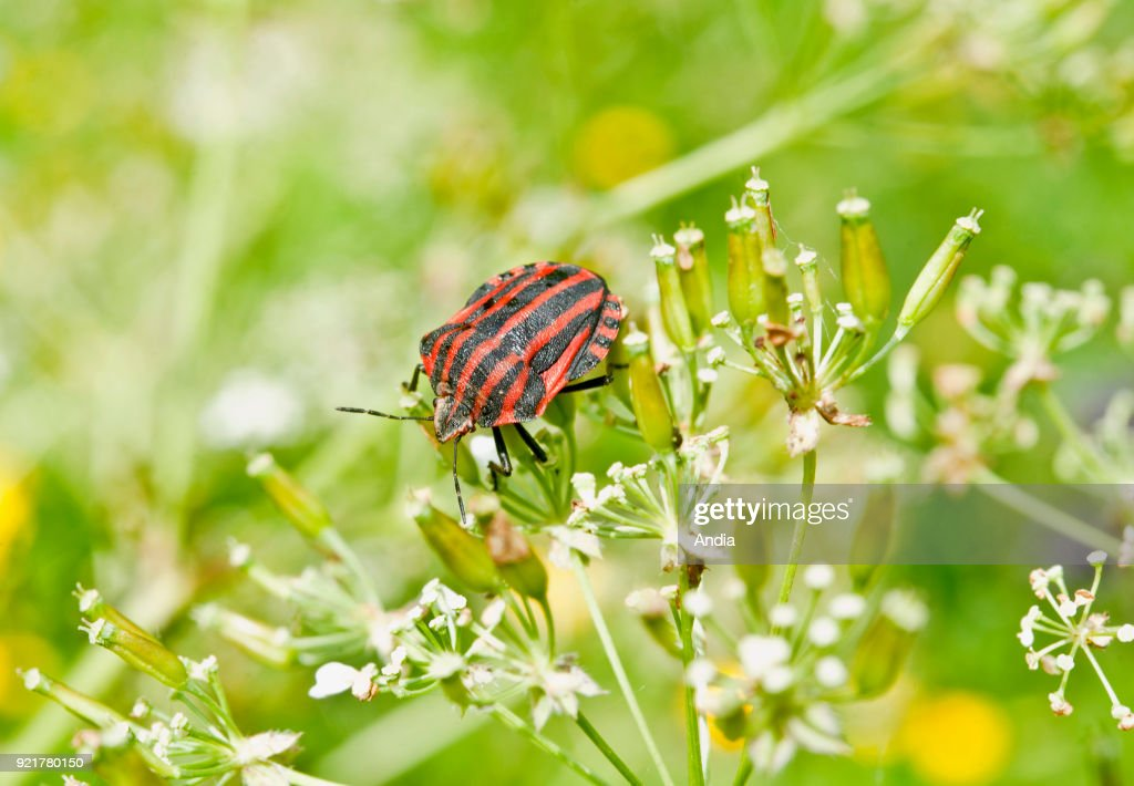 Italian striped bug, Graphosoma lineatum, a species of shield bug in the family Pentatomidae.