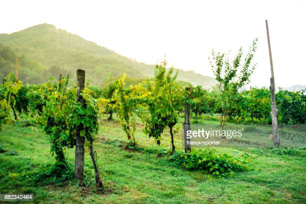 イタリアのブドウ園 - モンタルチーノ ストックフォトと画像