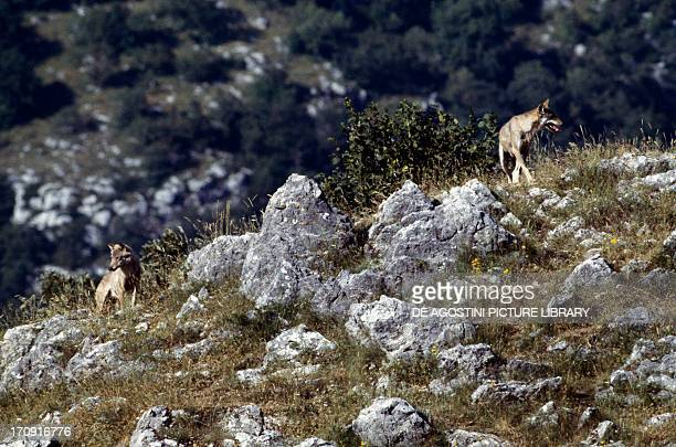 Italian Wolf Abruzzo Lazio and Molise National Park Italy