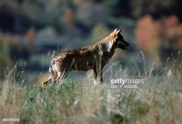 Italian Wolf or Apennine wolf , Canidae, National Park of Abruzzo, Lazio and Molise, Italy.