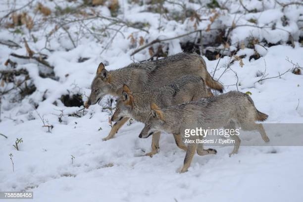 Italian Wolves Walking On Snowfield At Abruzzo National Park