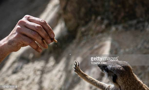 Italian zoo caretaker Daniele feeds a suricate with worms on April 23, 2020 at the Rome zoo during the country's lockdown aimed at curbing the spread...