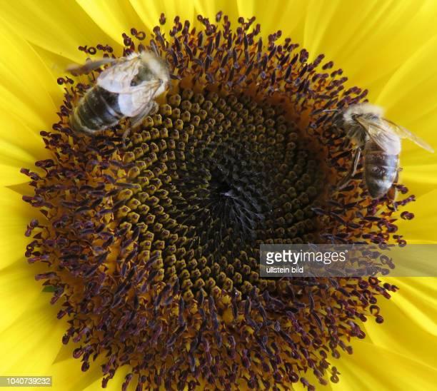 Italien Südtirol Alpen Sommer Tourismus Meran Schloß Schloss Trauttmansdorff in Meran Garten Sonnenblumenfeld Sonnenblume Sonnenblumen Blüte...