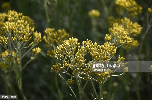 Italienische Strohblume Italienische Immortelle Currykraut Helichrysum italicum Gewuerzpflanze Heilpflanze Ligurien Italien