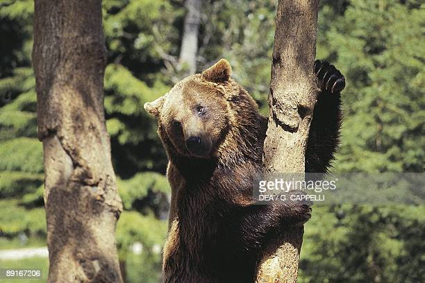 Italy Abruzzo Abruzzo National Park Brown Bear climbing tree