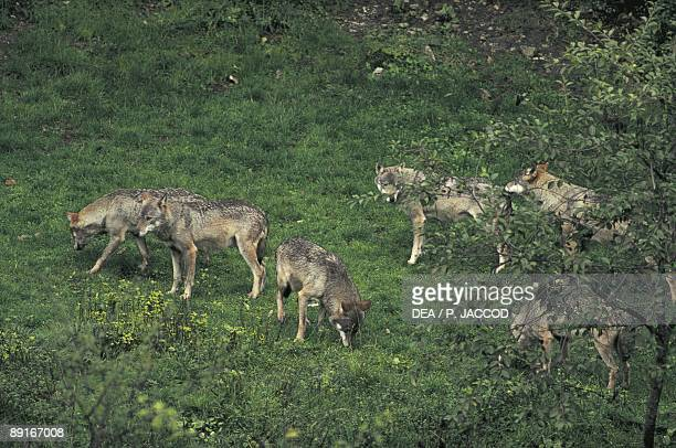 Italy Abruzzo Abruzzo National Park herd of wolves