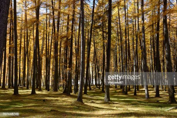 italy, alto adige, vinschgau, larches in autumnal talai forst - larch tree stock pictures, royalty-free photos & images