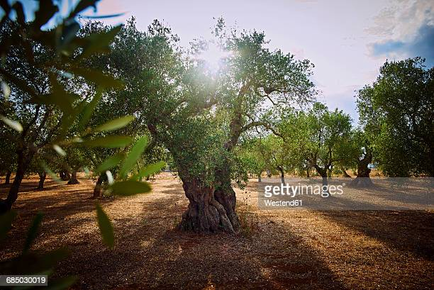 italy, apulia, olive trees in back light - olive orchard stock photos and pictures