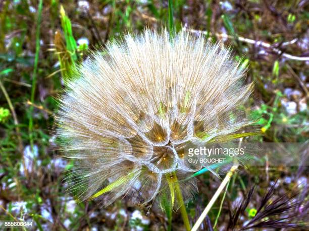 italy, apulia, province of brindisi, cisternino, pomona gardens, seed head of a dandelion - cisternino stock photos and pictures