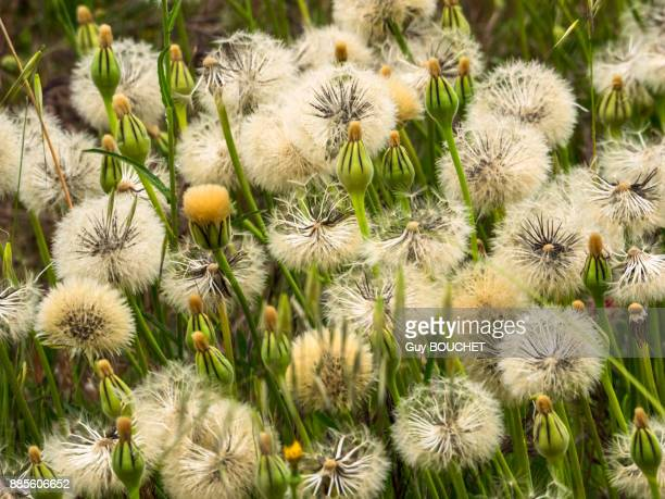 italy, apulia, province of brindisi, cisternino, pomona gardens, seed heads of dandelions - cisternino stock photos and pictures