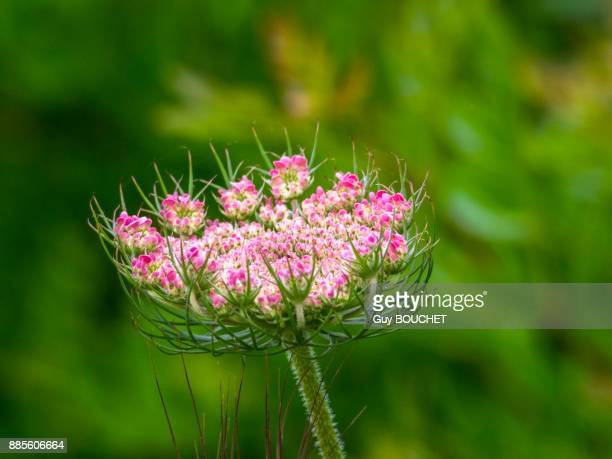 italy, apulia, province of brindisi, cisternino, pomona gardens, wild carrot flower - cisternino stock photos and pictures