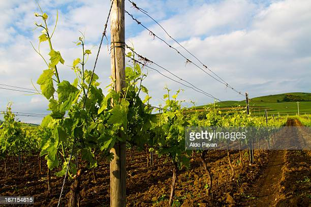 italy, basilicata, venosa, wineyard - wineyard stock photos and pictures