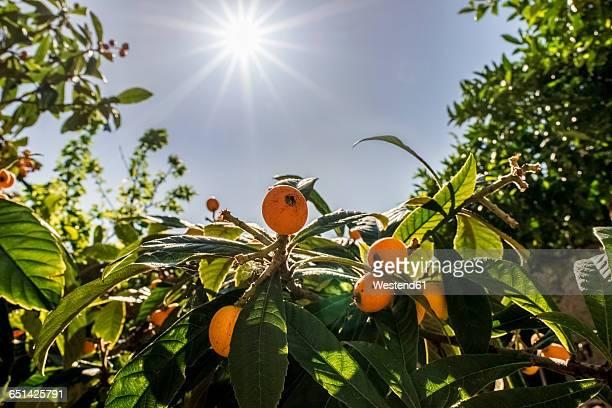 Italy, Calabria, Japanese Loquat, Eriobotrya japonica