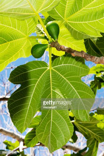 italy, calabria, tropea, figs, ficus carica - fig tree stock photos and pictures