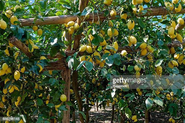 Italy, Campania, Amalfi, Valle delle Ferriere, lemon plantation