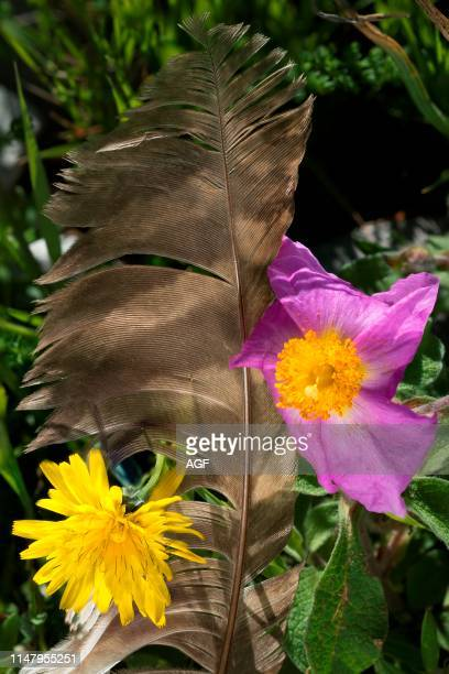 Italy Campania Cilento National Park Hoary RockRose Hawkbit and Flight feather of tawny owl or brown owl