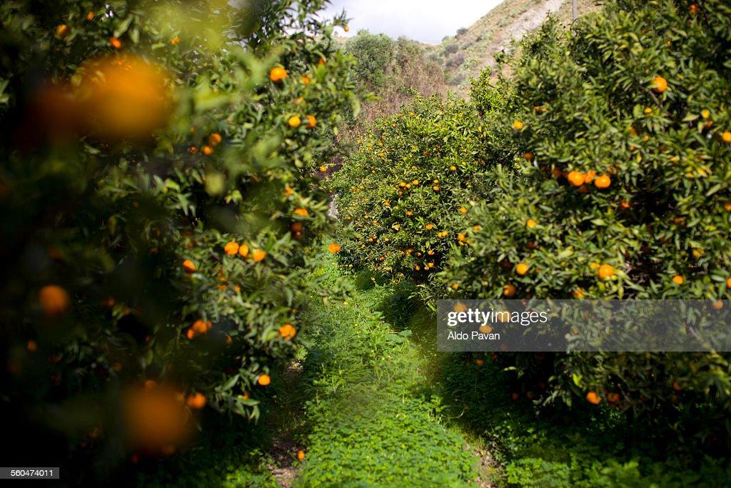 Italy, Caulonia, cultivation of mandarins : Stock Photo