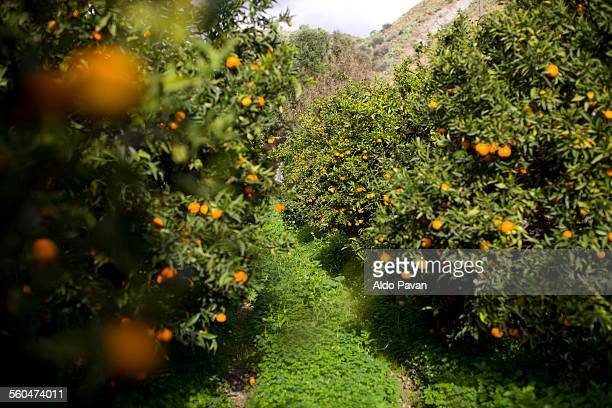 italy, caulonia, cultivation of mandarins - orange orchard stock photos and pictures