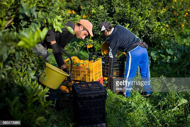 italy, caulonia, harvesting oranges - farm worker stock pictures, royalty-free photos & images