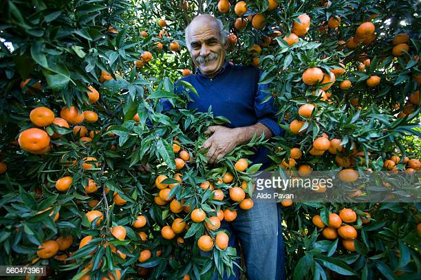 italy, caulonia, mandarin harvesting - orange grove stock photos and pictures