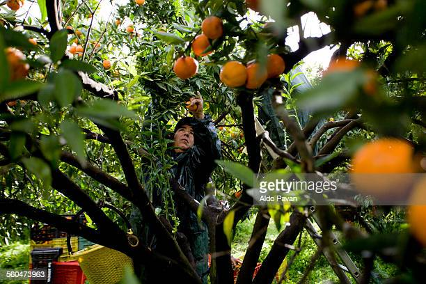 italy, caulonia, mandarin harvesting - orange orchard stock photos and pictures