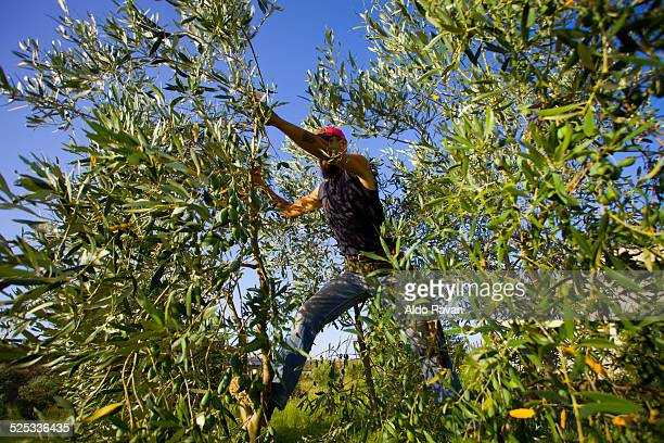 Italy, Cerignola, pruning of a tree of olives