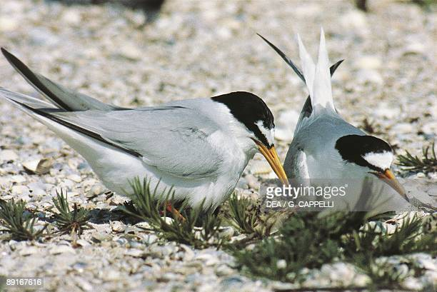 Italy delta of Po River Little Terns