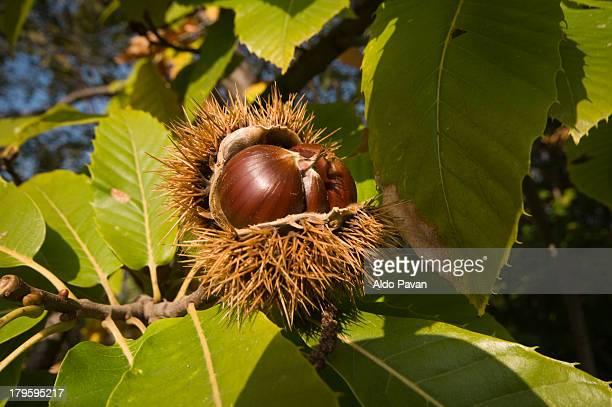 Italy, Farra di Soligo, chestnut